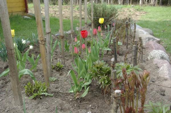 tulpės sodyboje