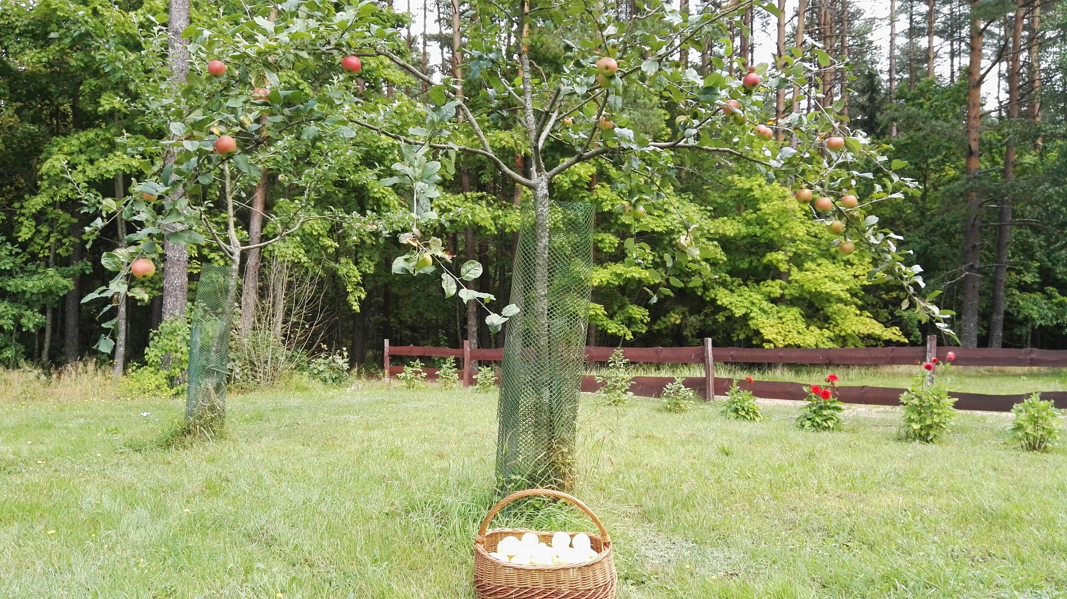 Obuoliu derlius